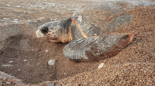 Caretta turtles lay their eggs on Rethymno sandy beaches1